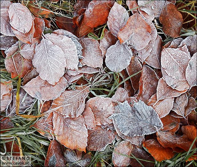 Frusna löv