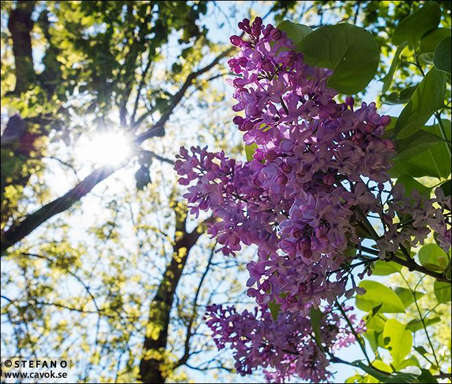 Blommande syren