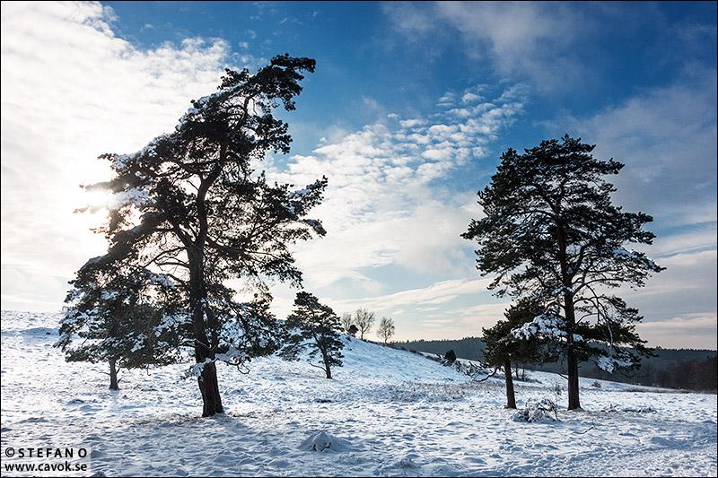 Två tallar i snö