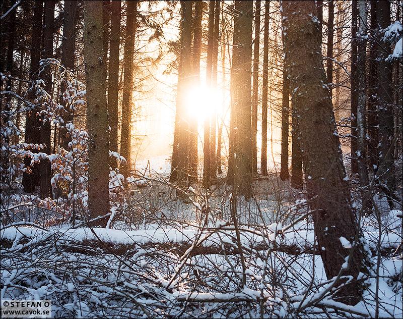 Vinterskog i motljus