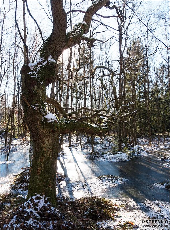 Gammalt träd Gällhagen