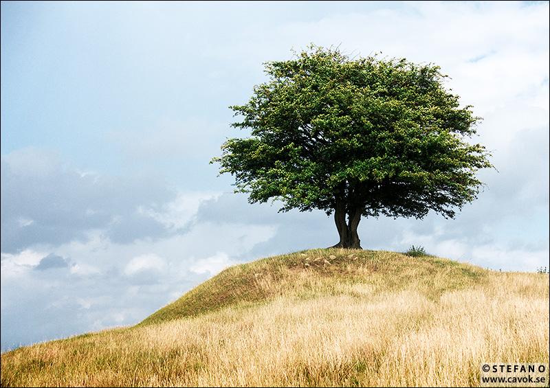 Det ensamma trädet på Rörums backar