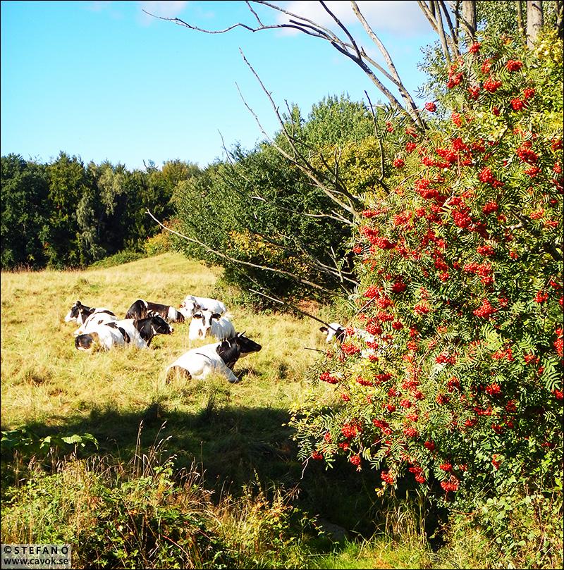 Kor i sensommarlandskap