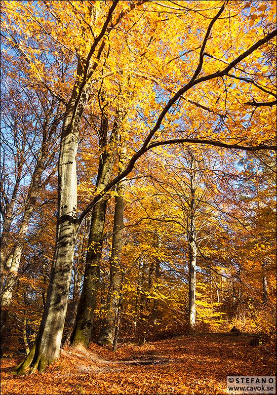 Gyllene bokskog