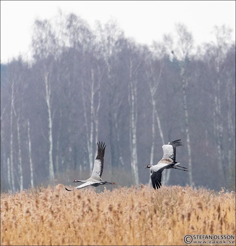 Tranor vid Krankesjön