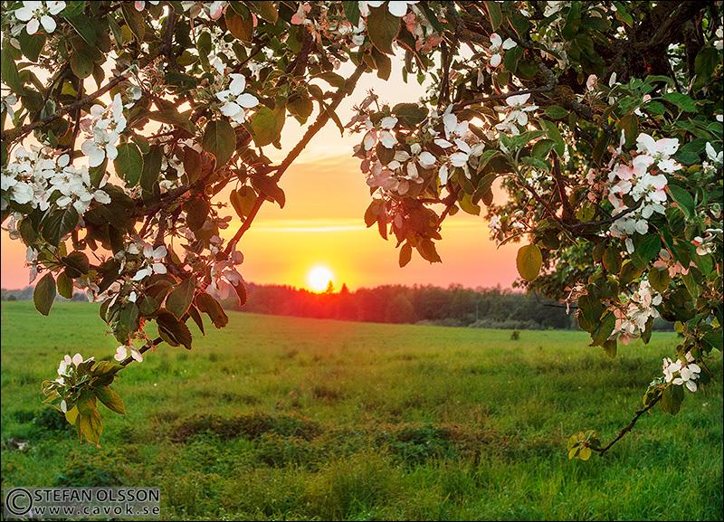 Solnedgång och blommande äppelträd