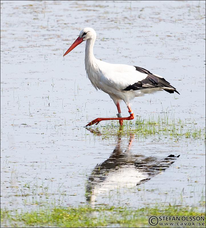 Stork på Vombs ängar