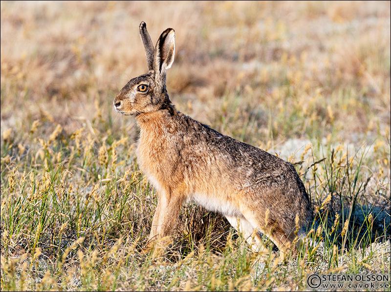 Hare på Revingehed