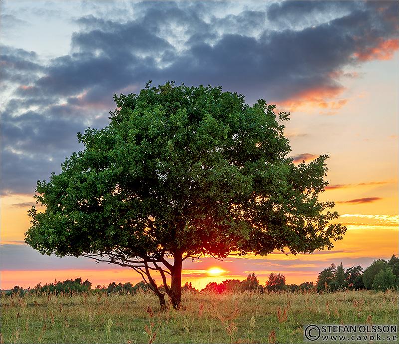 Ensamt träd i solnedgången