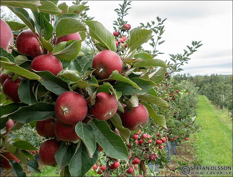 Äpplen Österlen
