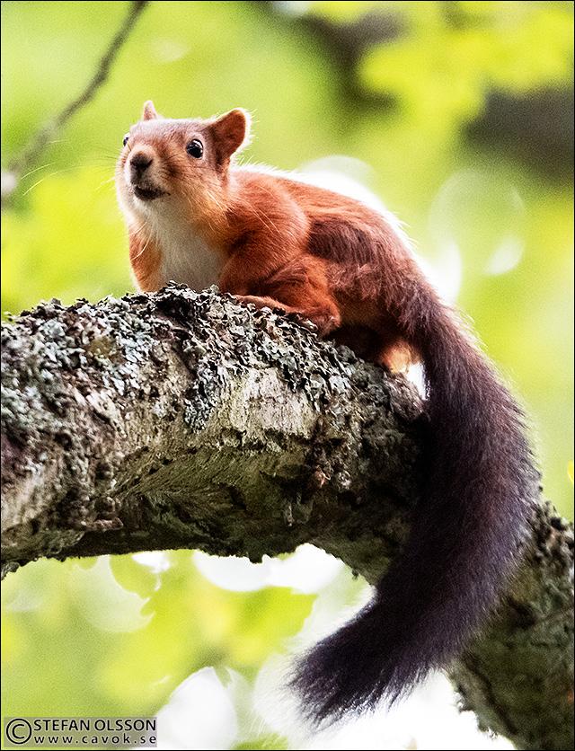 Ekorre i Silvåkraskogen