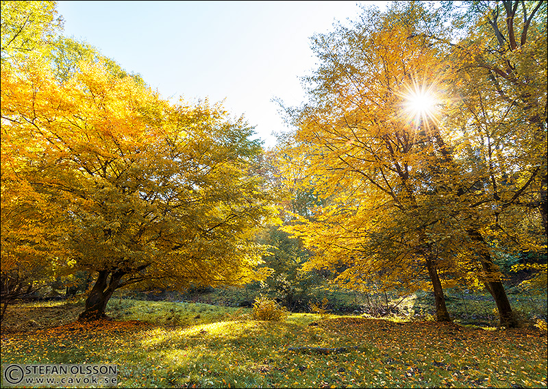 Rövarekulan - gula träd i motljus