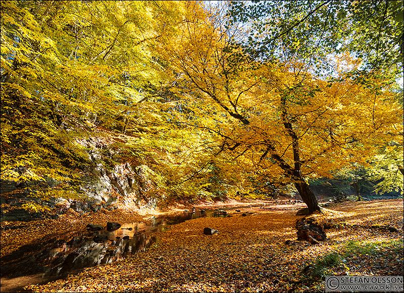 Rövarekulan - gult träd