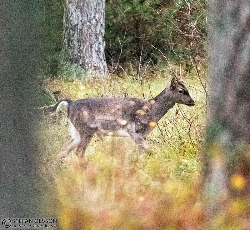 Ung dovhjort med spröda horn