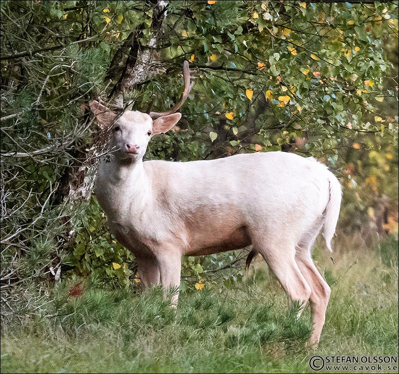 Vit dovhjort i Vombs fure