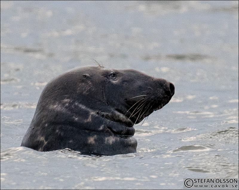 Gråsäl i vattnet vid Måkläppen