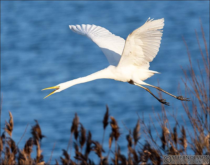 Flygande ägretthäger - Krankesjön