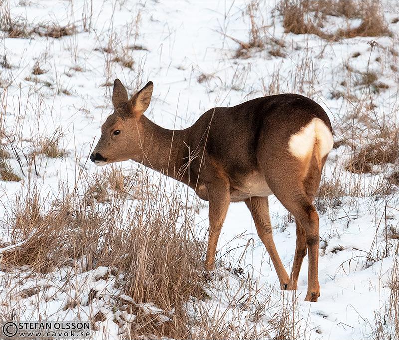Rådjur på vinterfält