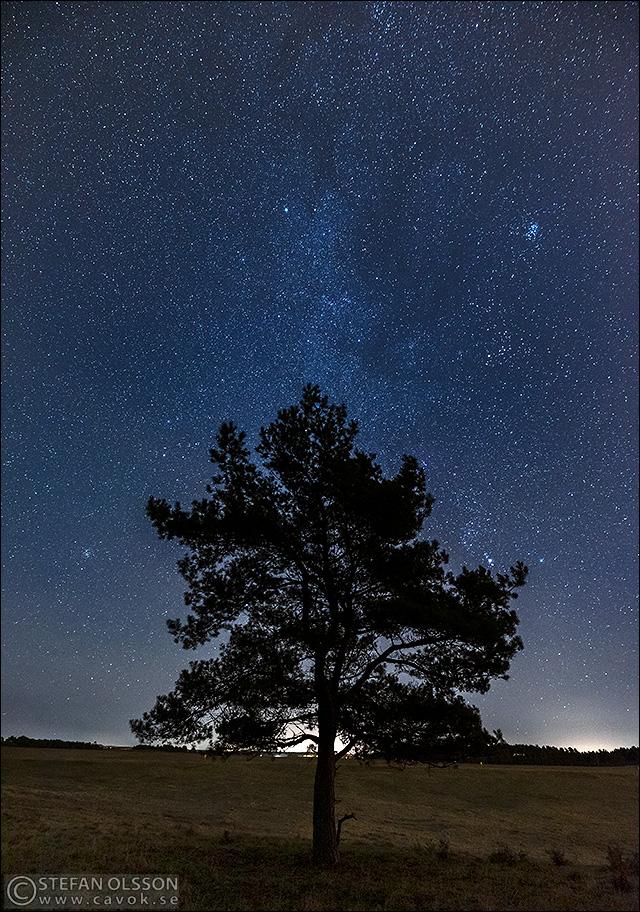 Ensam tall framför stjärnhimmel, Silvåkra