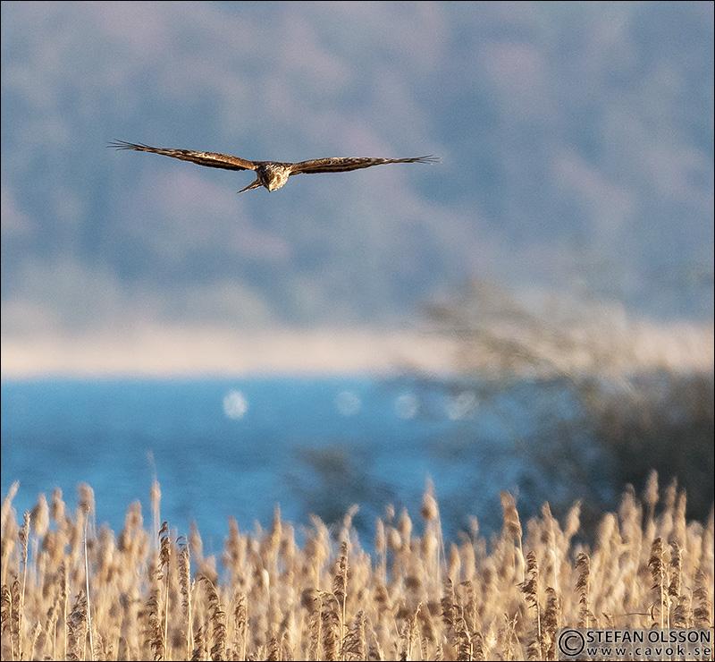 Blå kärrhök vid Krankesjön