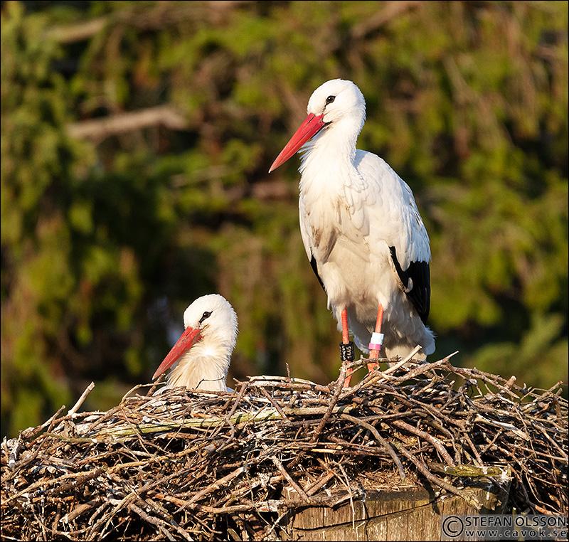 Storkpar bygger bo