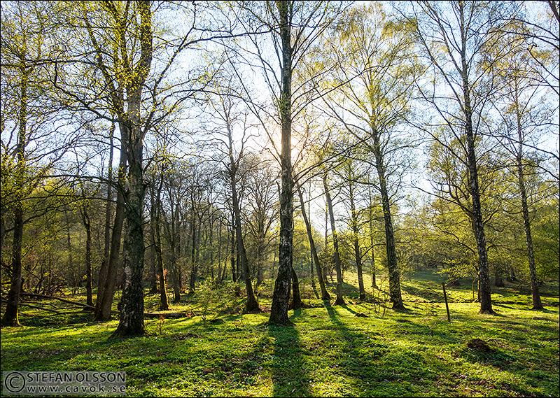 Det grönskar i Gryteskog
