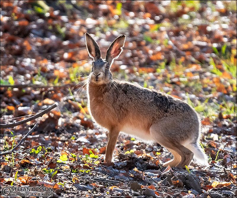 Hare i motljus