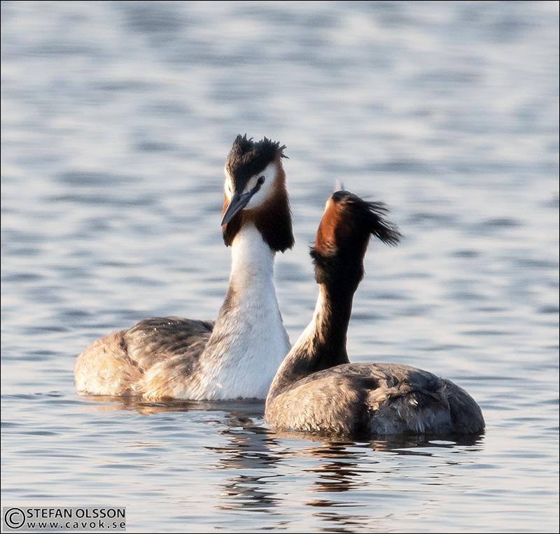 Skäggdoppingar Krankesjön
