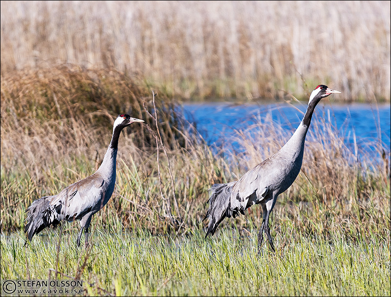 Två tranor vid Krankesjön