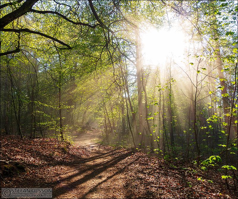 Vårsol bryter genom nyutslagen bokskog