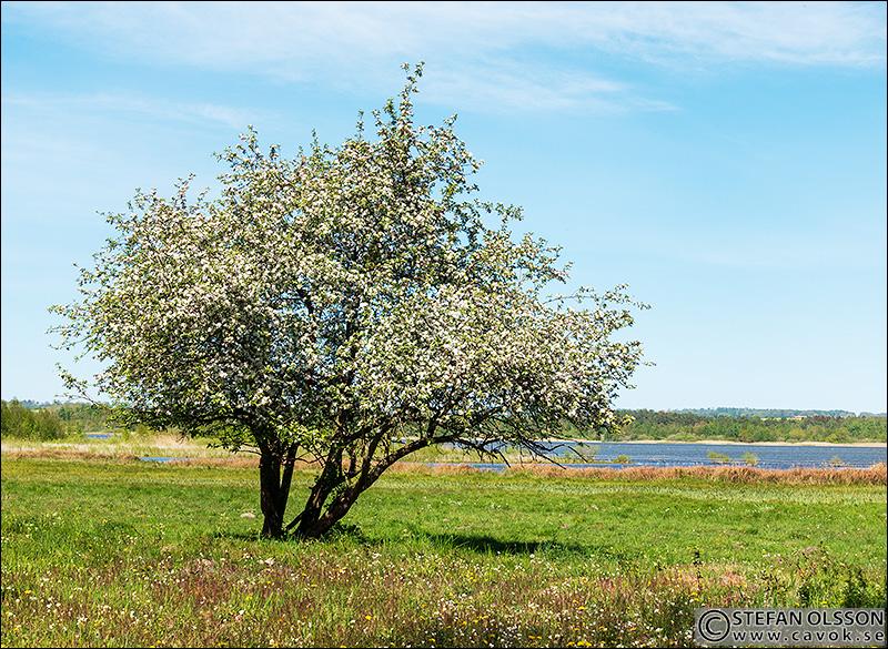 Blommande träd vid Almens strandängar