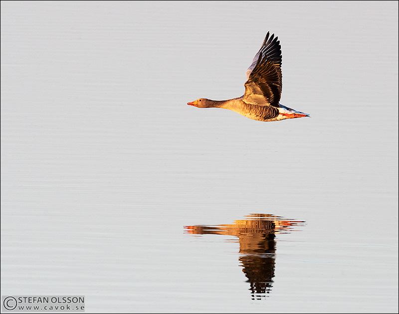 Grågås flyger över spegelblank sjö