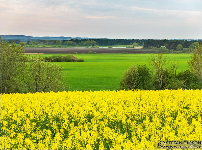 Utsikt över blommande raps och Vombsänkan från gården Viken