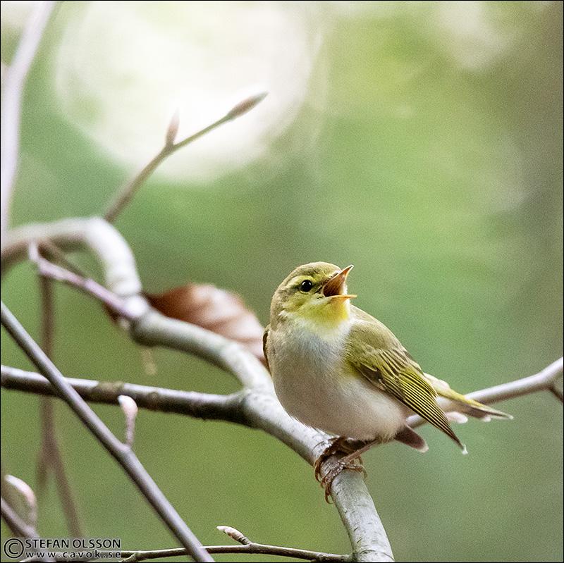 Grönsångare sjunger