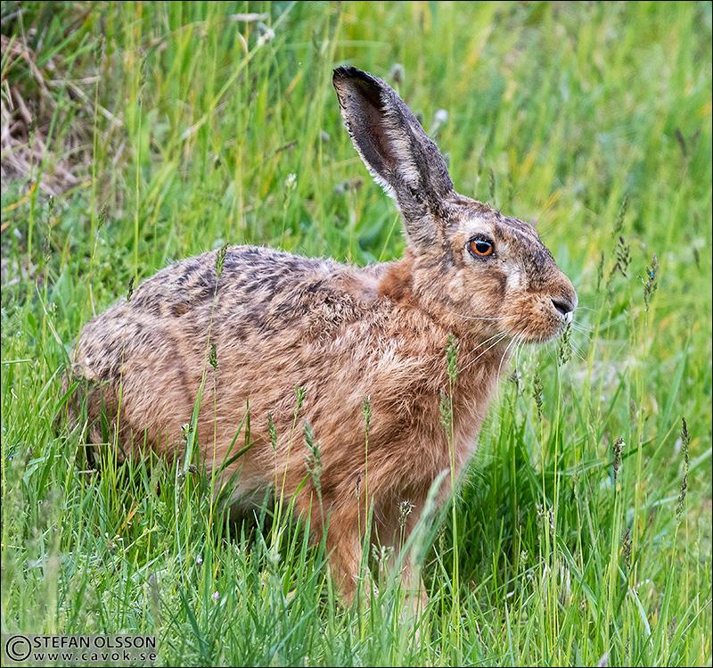 Hare i gräset