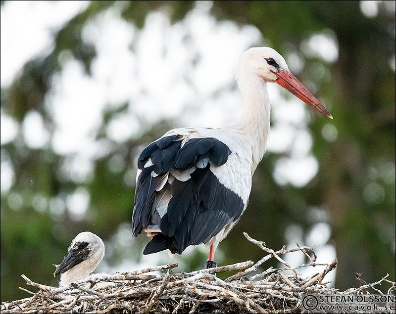 Stork med unge