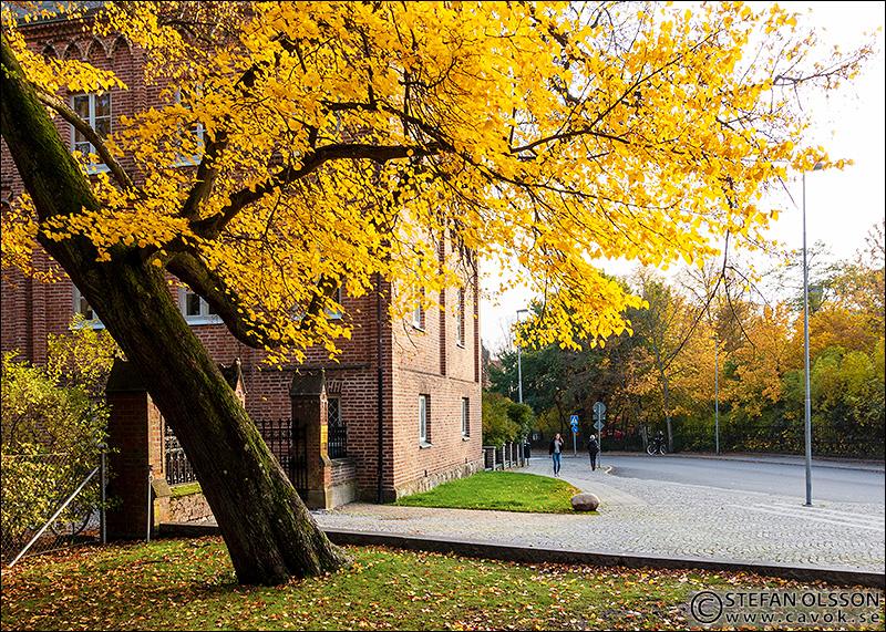 Gyllene lind utanför Gamla biskopshuset, Lund