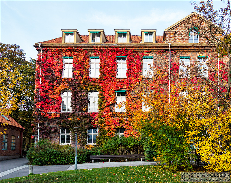 Färgglad murgröna på Sociologiska institutionen, Lund