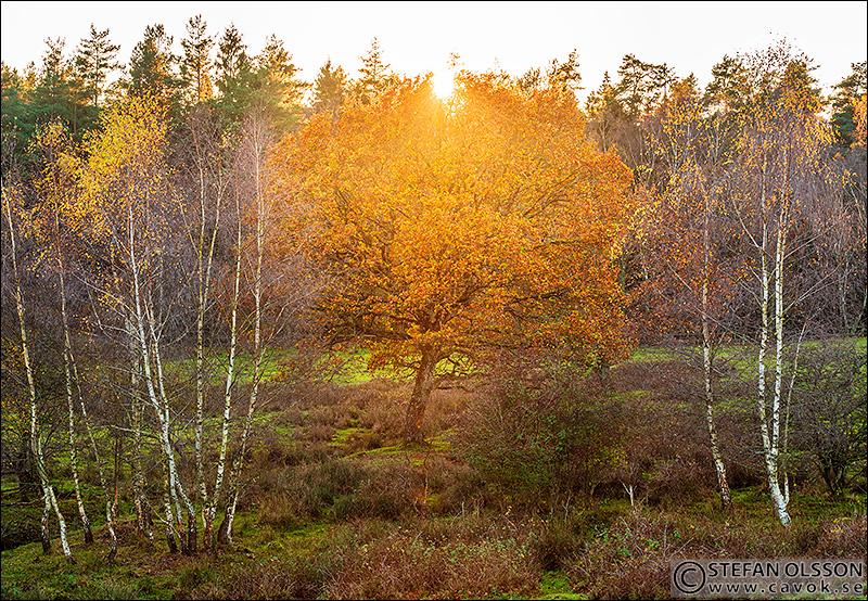 Gult träd i kvällsljus - Snogeholm