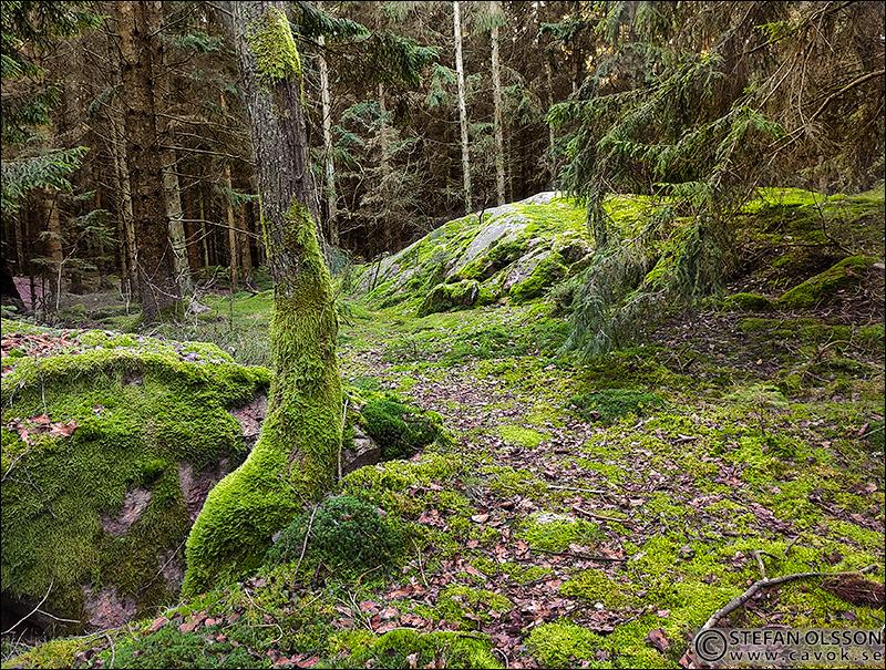 Granskog i Skrylle