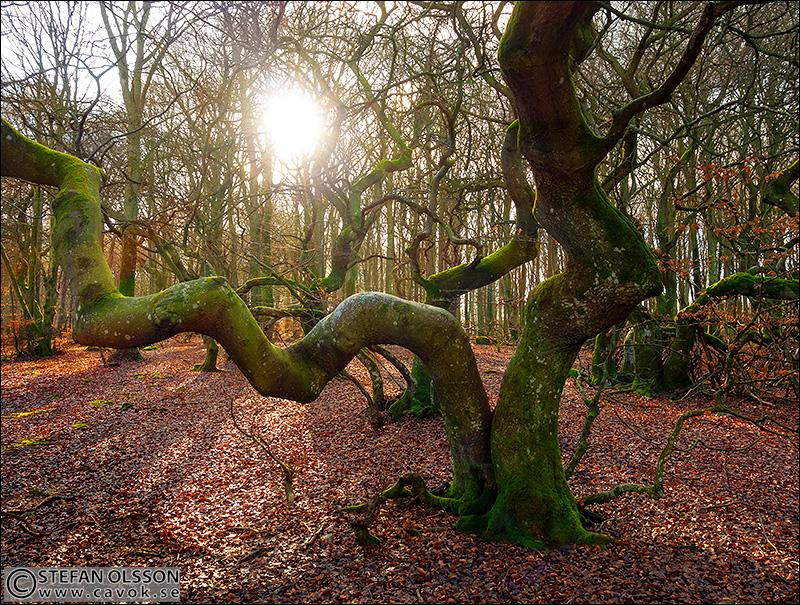 Trollskogens vresbokar i motljus