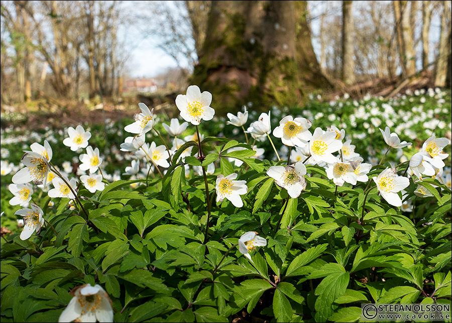 Blommande vitsippor i Billebjer