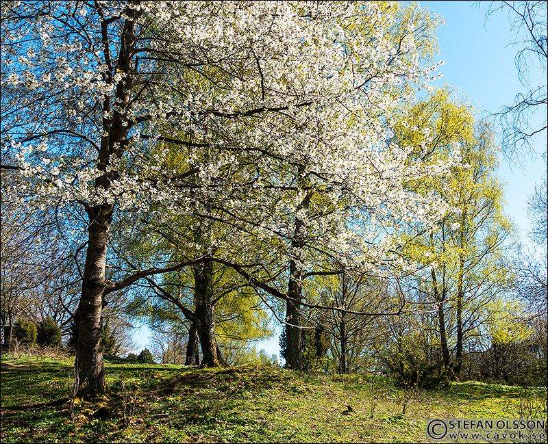 Blommande körsbärsträd i Körsbärsdalen