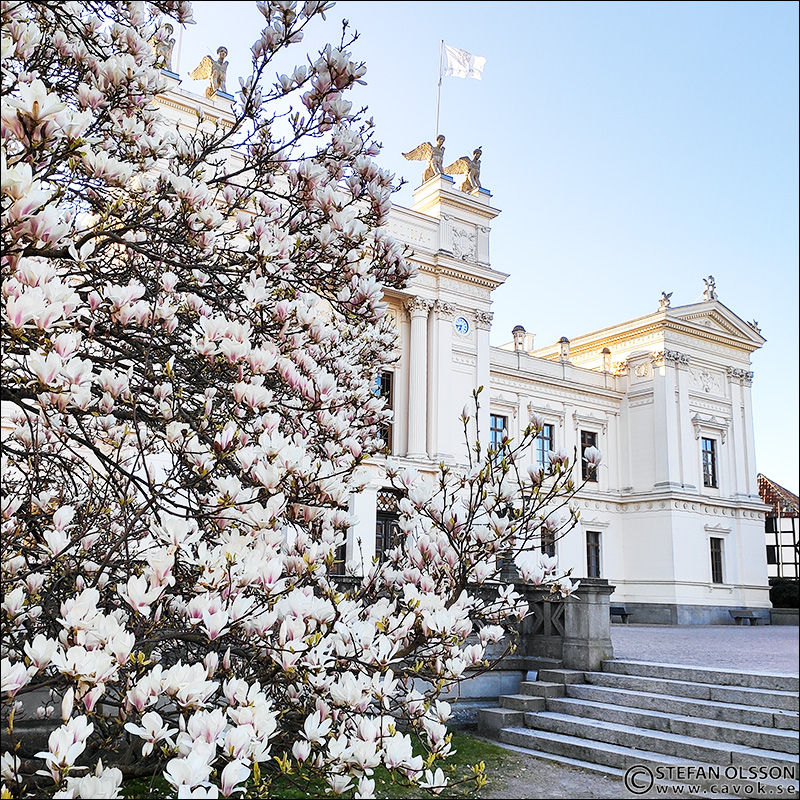 Magnolian utanför Universitetshuset i Lund