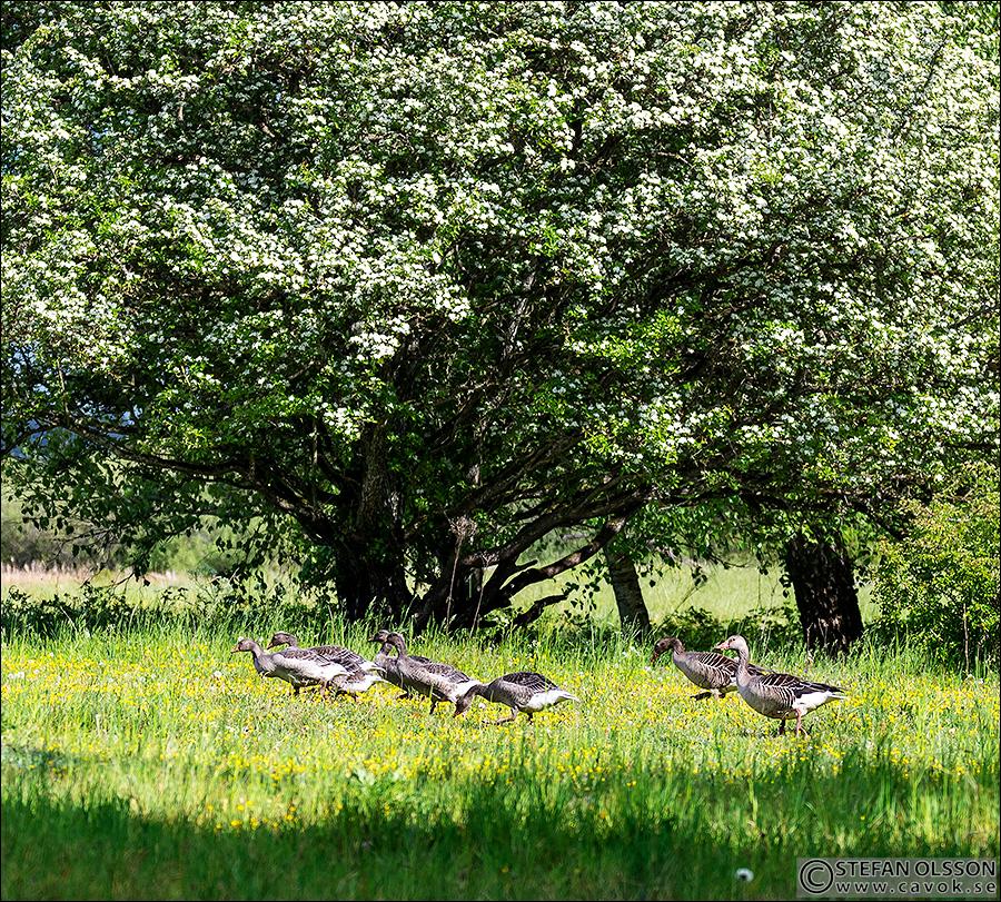 Grågås och gässlingar vid Almen, Krankesjön