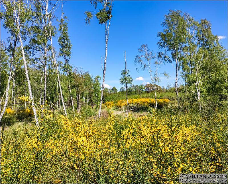 Blommande harris i Häckeberga