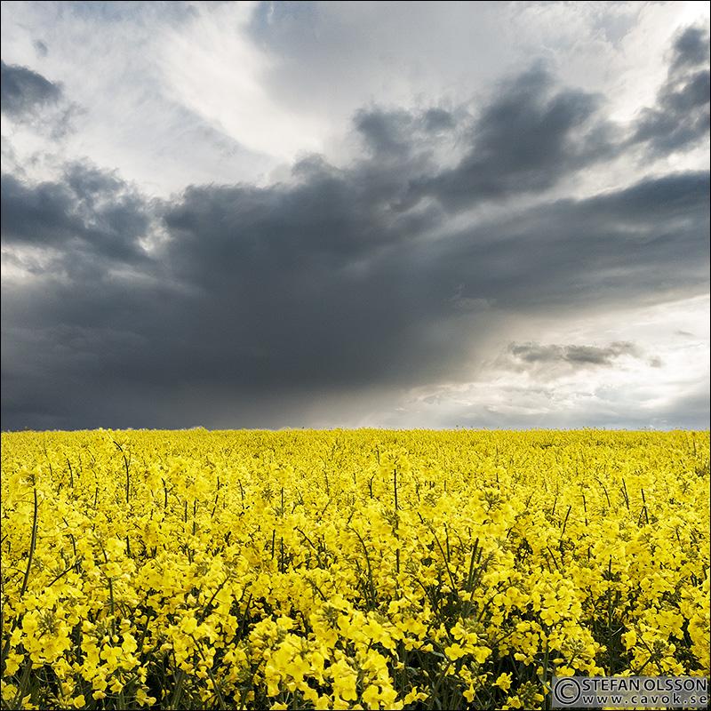 Mörka moln bakom blommande rapsfält