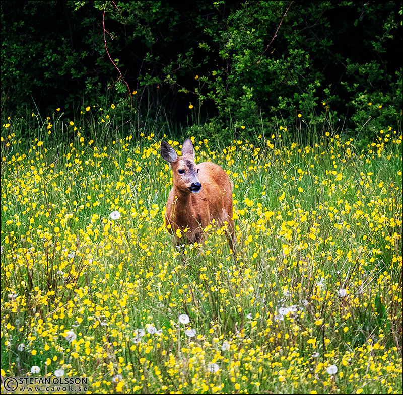 Rådjur på äng med gula blommor