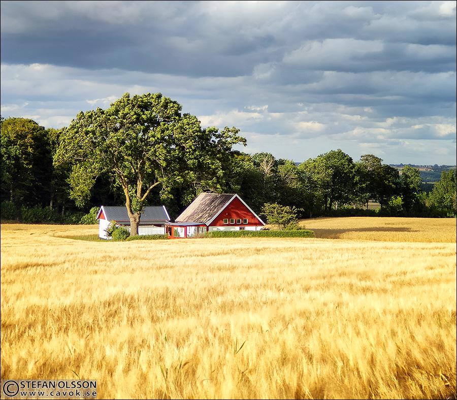 Litet hus i sädesfält
