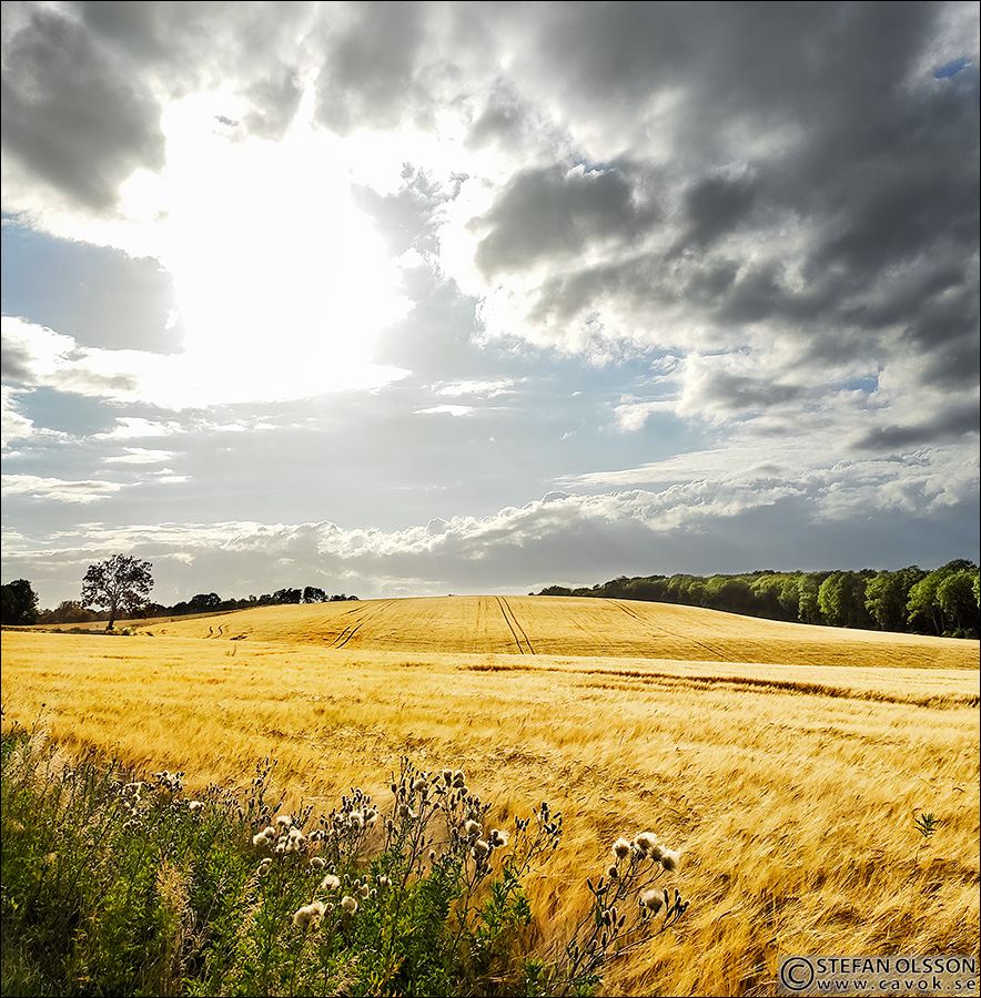 Gyllene sädesfält vid Ryd